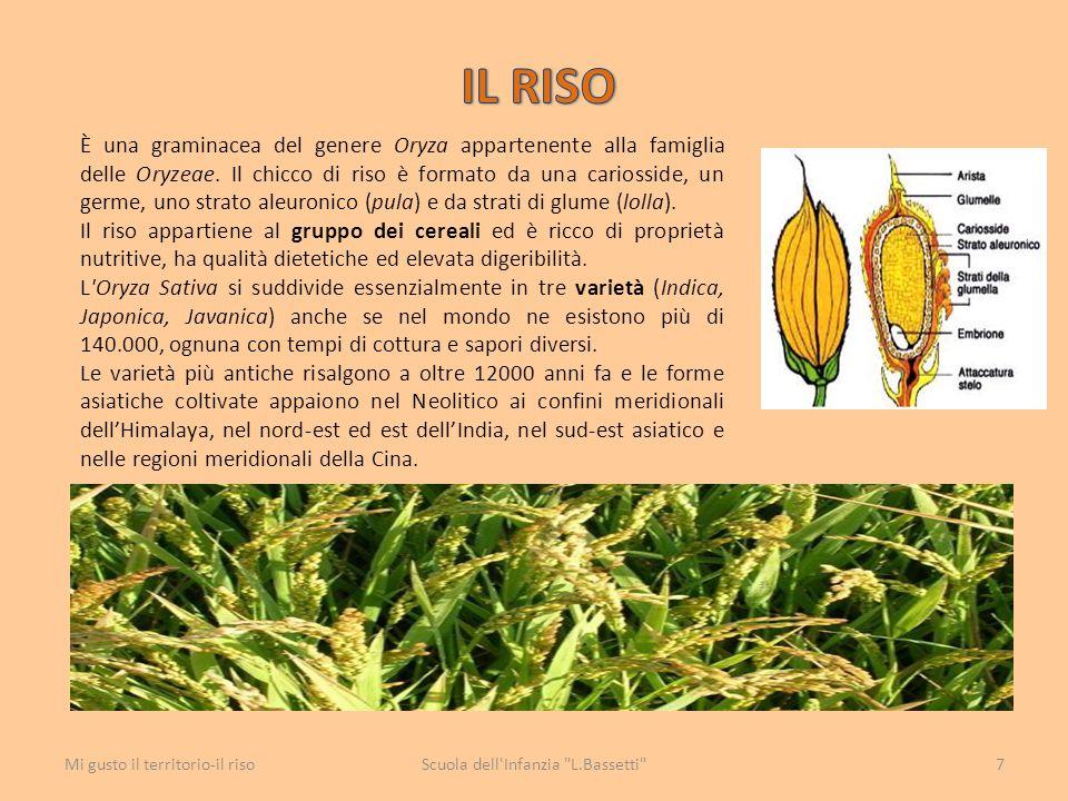 È una graminacea del genere Oryza appartenente alla famiglia delle Oryzeae. Il chicco di riso è formato da una cariosside, un germe, uno strato aleuro