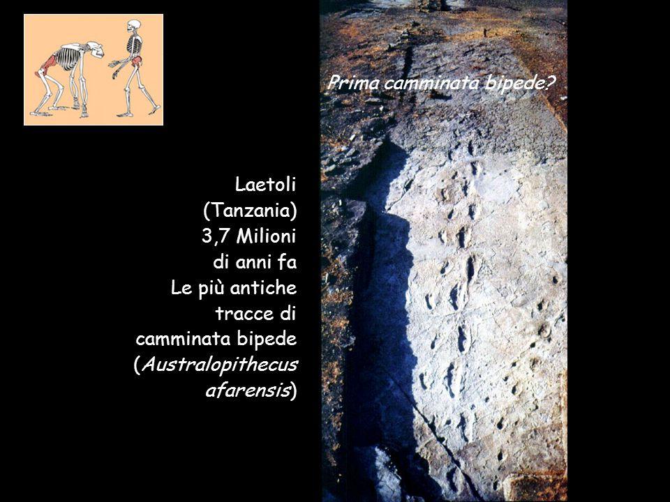 Laetoli (Tanzania) 3,7 Milioni di anni fa Le più antiche tracce di camminata bipede (Australopithecus afarensis) Prima camminata bipede?