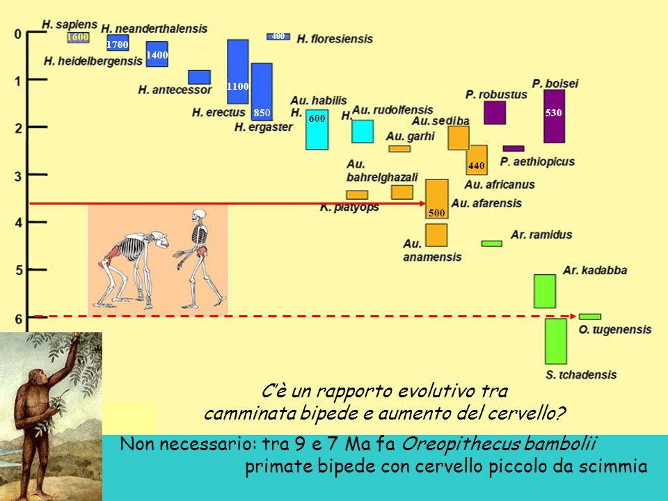 400 1100 1700 1600 1400 850 600 500 440 530 C'è un rapporto evolutivo tra camminata bipede e aumento del cervello.