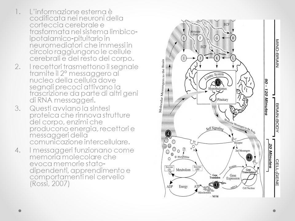 1.L'informazione esterna è codificata nei neuroni della corteccia cerebrale e trasformata nel sistema limbico- ipotalamico-pituitario in neuromediator