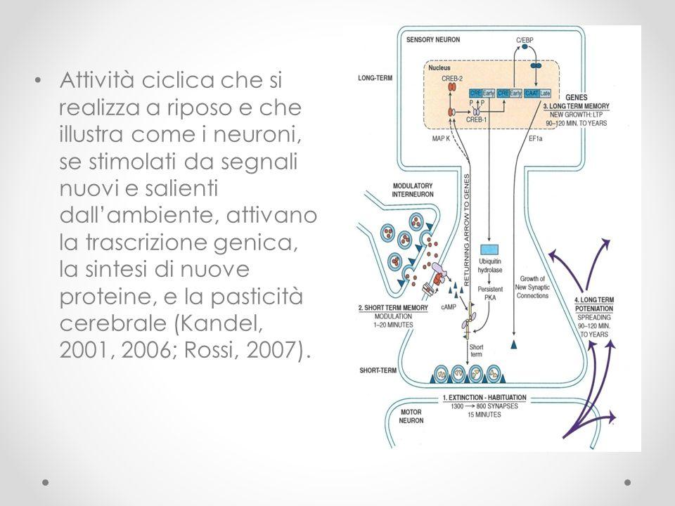 Attività ciclica che si realizza a riposo e che illustra come i neuroni, se stimolati da segnali nuovi e salienti dall'ambiente, attivano la trascrizi