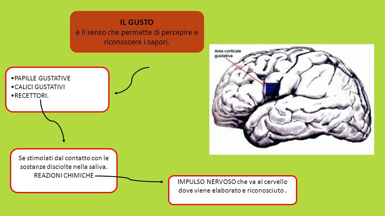 Quando un recettore viene stimolato da una di queste sostanze, invia impulsi nervosi al cervello.