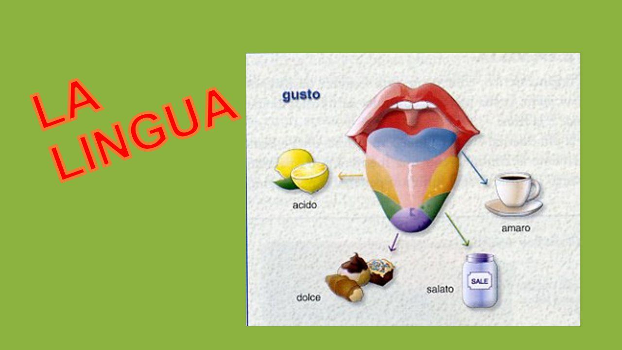 Di solito il dolce e il salato vengono percepiti in punta, l acido ai bordi e l amaro alla base della lingua.