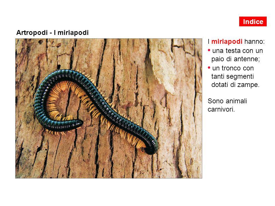 Artropodi - I miriapodi I miriapodi hanno: una testa con un paio di antenne; un tronco con tanti segmenti dotati di zampe. Sono animali carnivori. Ind
