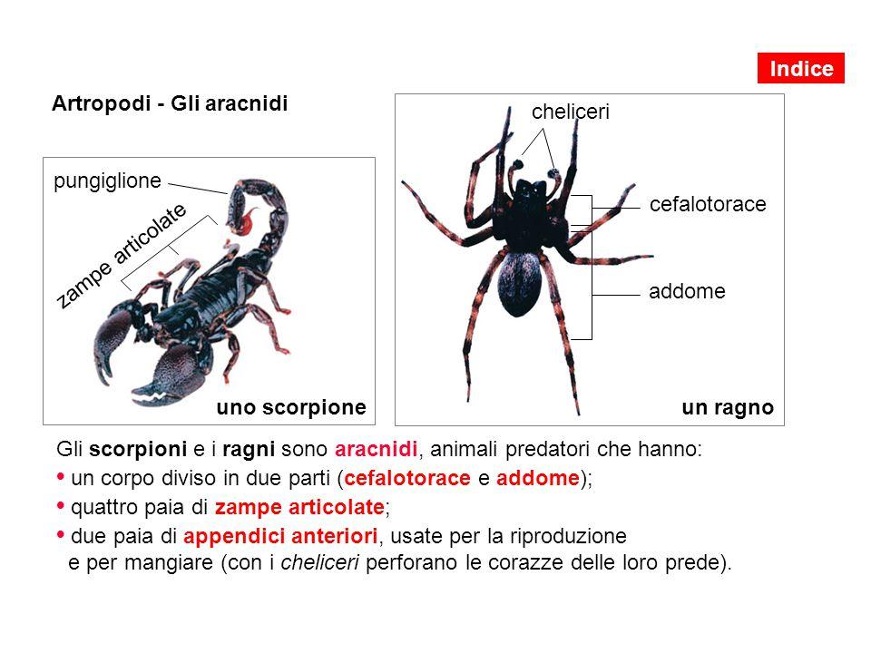 zampe articolate pungiglione uno scorpione Artropodi - Gli aracnidi Gli scorpioni e i ragni sono aracnidi, animali predatori che hanno: un corpo divis