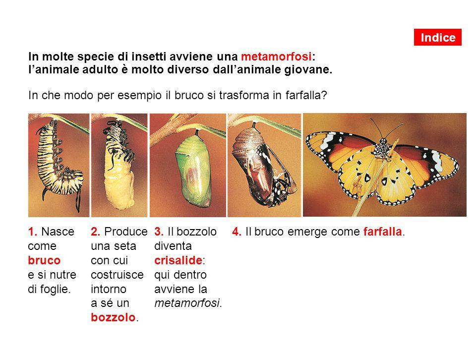 In molte specie di insetti avviene una metamorfosi: l'animale adulto è molto diverso dall'animale giovane. In che modo per esempio il bruco si trasfor