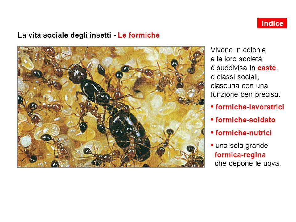 La vita sociale degli insetti - Le formiche Vivono in colonie e la loro società è suddivisa in caste, o classi sociali, ciascuna con una funzione ben precisa: formiche-lavoratrici formiche-soldato formiche-nutrici una sola grande formica-regina che depone le uova.