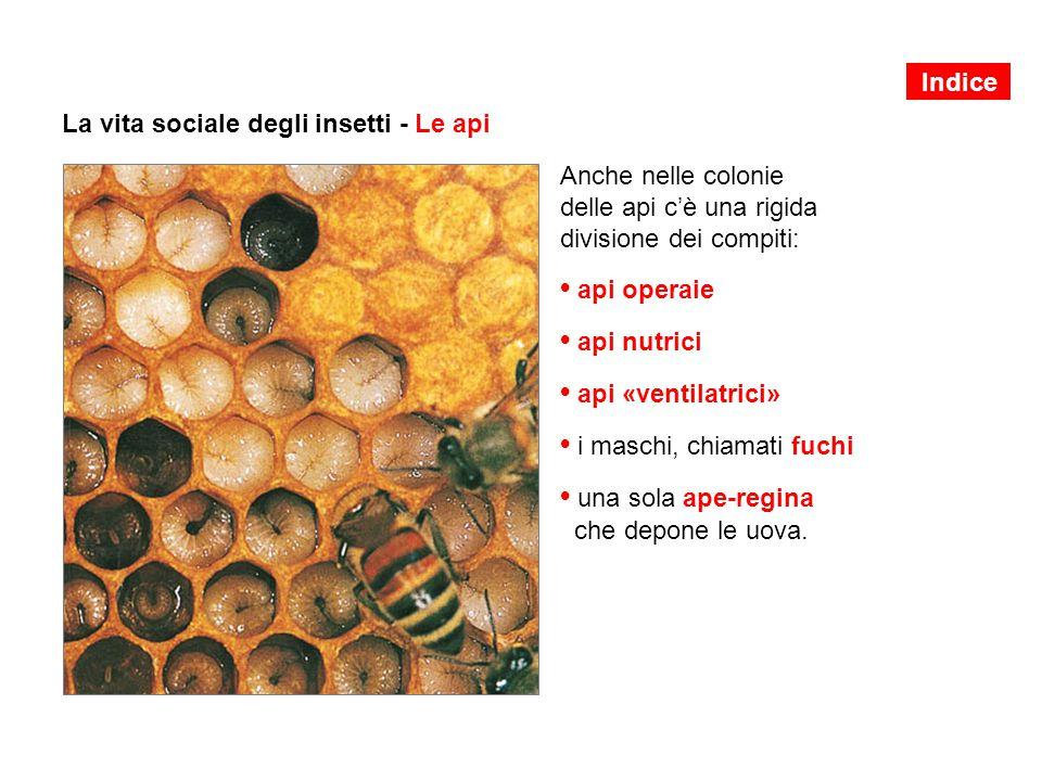 La vita sociale degli insetti - Le api Anche nelle colonie delle api c'è una rigida divisione dei compiti: api operaie api nutrici api «ventilatrici» i maschi, chiamati fuchi una sola ape-regina che depone le uova.
