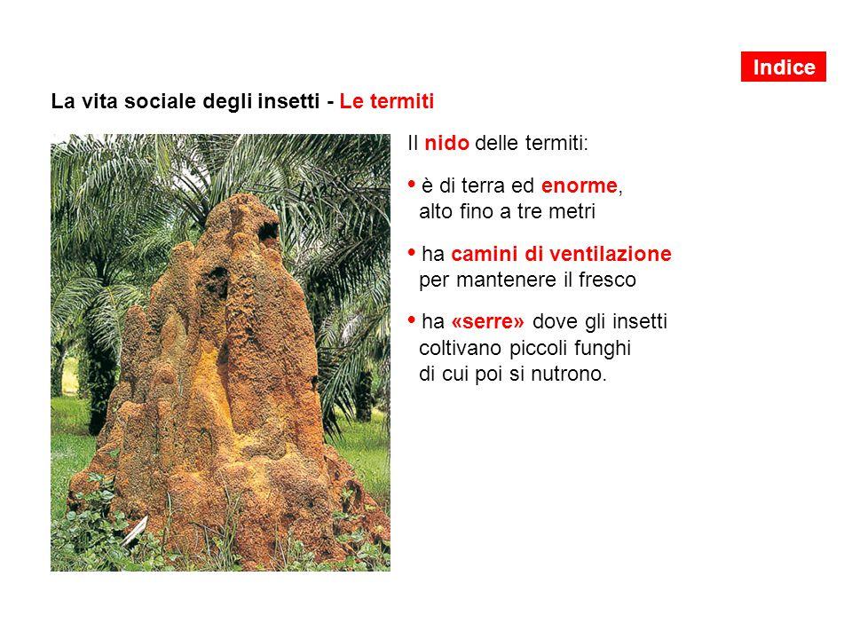 La vita sociale degli insetti - Le termiti Il nido delle termiti: è di terra ed enorme, alto fino a tre metri ha camini di ventilazione per mantenere il fresco ha «serre» dove gli insetti coltivano piccoli funghi di cui poi si nutrono.
