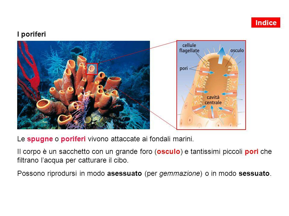 Le spugne o poriferi vivono attaccate ai fondali marini. Il corpo è un sacchetto con un grande foro (osculo) e tantissimi piccoli pori che filtrano l'