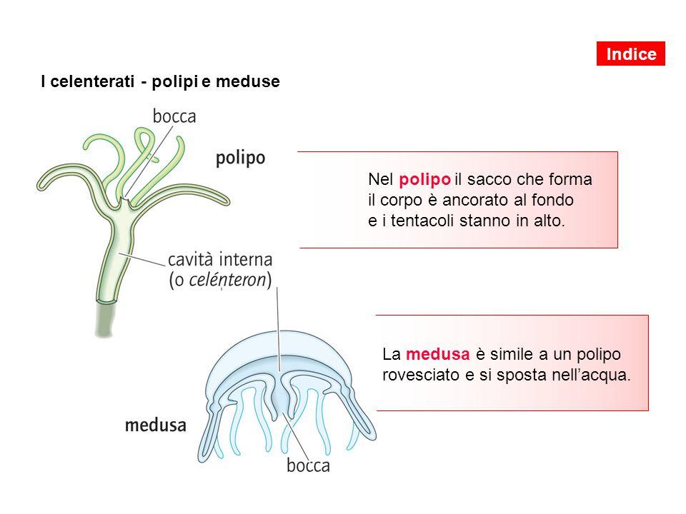 I celenterati - polipi e meduse Nel polipo il sacco che forma il corpo è ancorato al fondo e i tentacoli stanno in alto. La medusa è simile a un polip