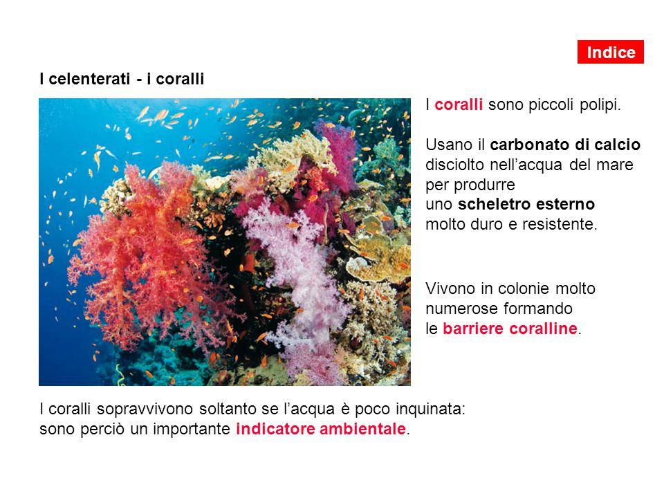 I celenterati - i coralli I coralli sono piccoli polipi. Usano il carbonato di calcio disciolto nell'acqua del mare per produrre uno scheletro esterno