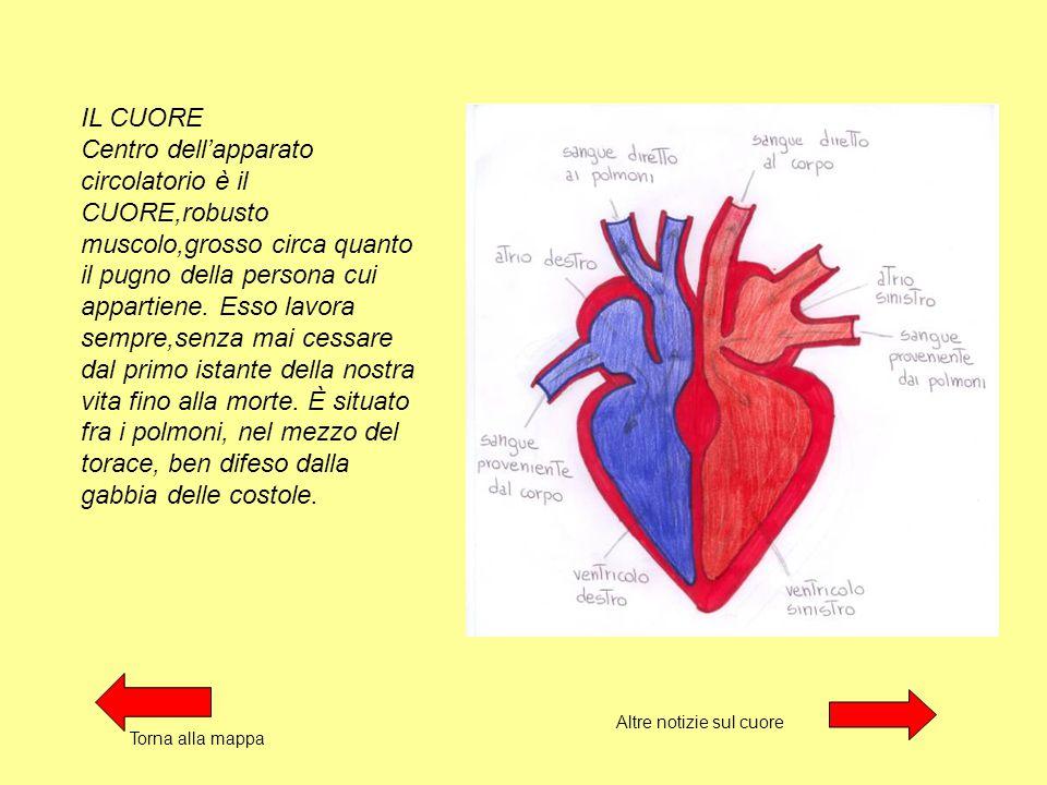IL CUORE Centro dell'apparato circolatorio è il CUORE,robusto muscolo,grosso circa quanto il pugno della persona cui appartiene.