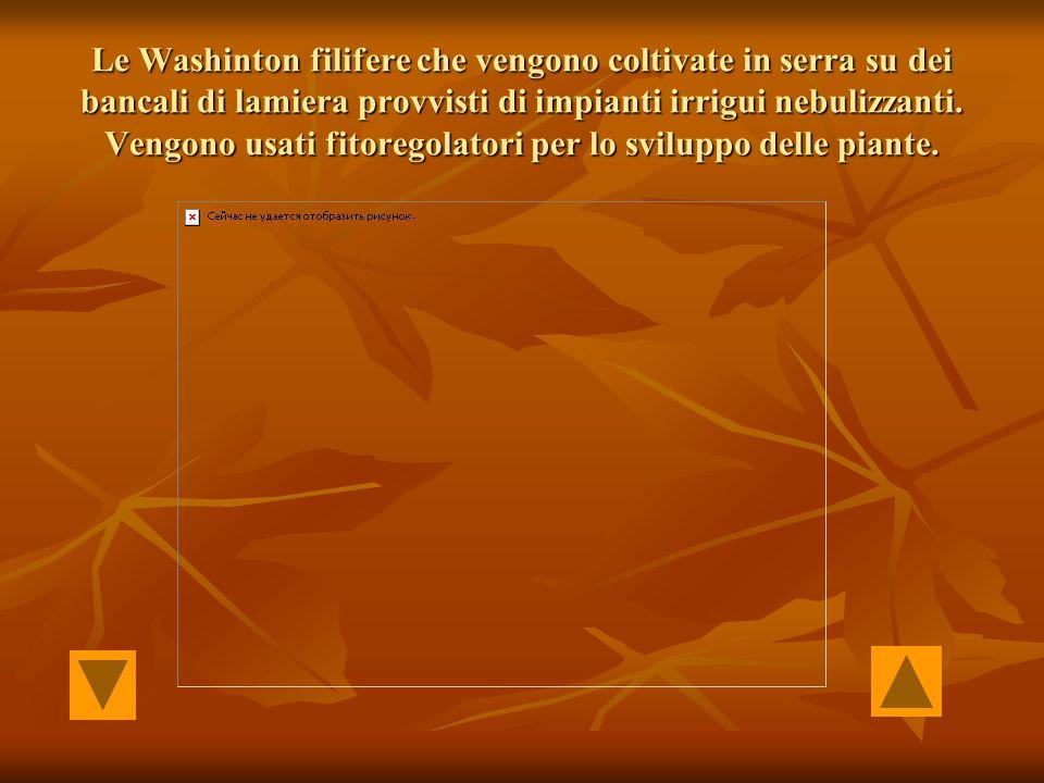 Le Washinton filifere che vengono coltivate in serra su dei bancali di lamiera provvisti di impianti irrigui nebulizzanti. Vengono usati fitoregolator