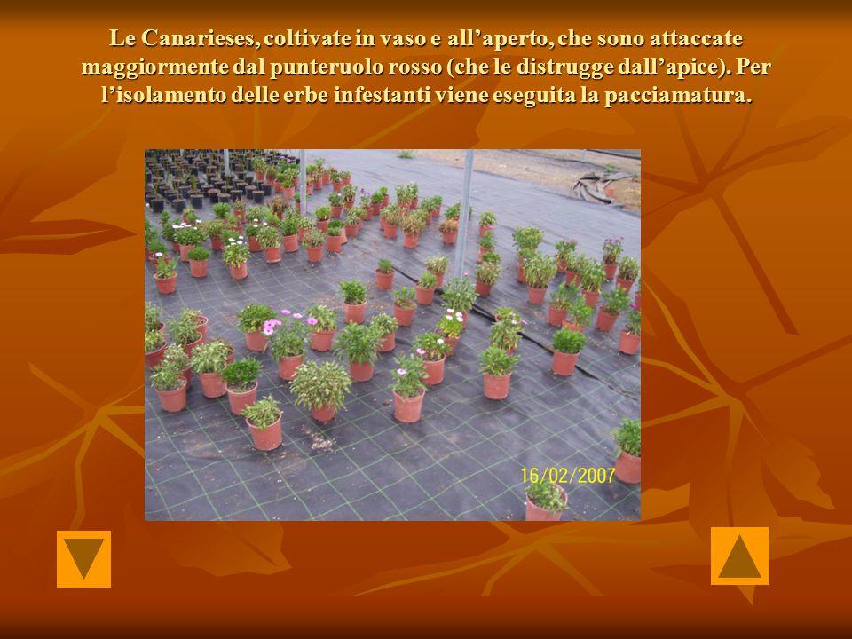 Le Canarieses, coltivate in vaso e all'aperto, che sono attaccate maggiormente dal punteruolo rosso (che le distrugge dall'apice). Per l'isolamento de