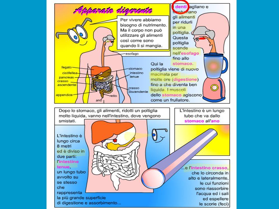 Bocca,mastica zione Faringe,si trova dietro l'esofago Bolo 1trasformazi one Esofago Chimo 2 trasformaz ione Chilo 3 trasformazione Fine! Viene elimina