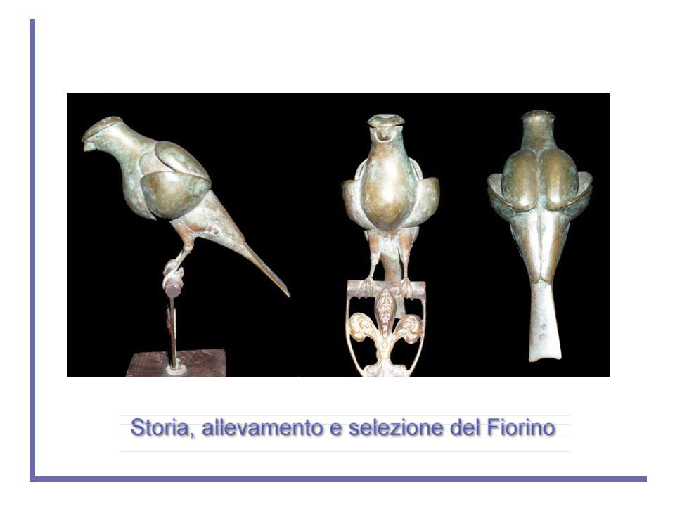 L'idea del Fiorino nasce a Firenze nella metà degli anni settanta da un'intuizione di Michele del Prete e Umberto Zingoni i quali iniziano a selezionare alcuni meticci frutto di accoppiamenti fra e Arrricciati del Nord e Gloster.