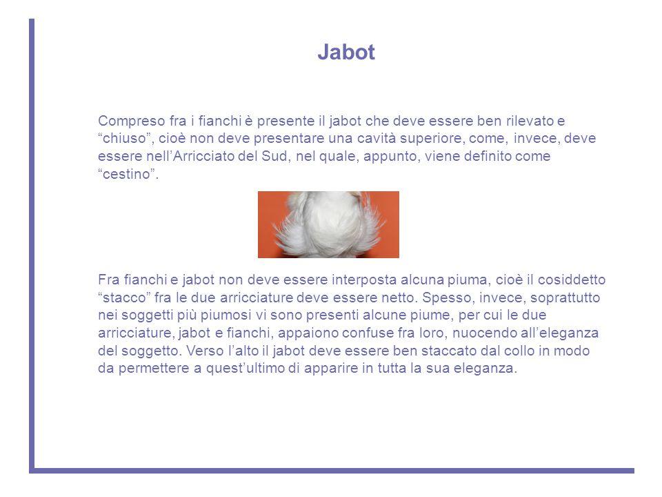 """Jabot Compreso fra i fianchi è presente il jabot che deve essere ben rilevato e """"chiuso"""", cioè non deve presentare una cavità superiore, come, invece,"""
