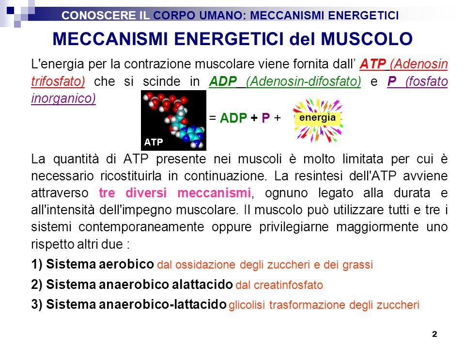 2 MECCANISMI ENERGETICI del MUSCOLO L'energia per la contrazione muscolare viene fornita dall' ATP (Adenosin trifosfato) che si scinde in ADP (Adenosi