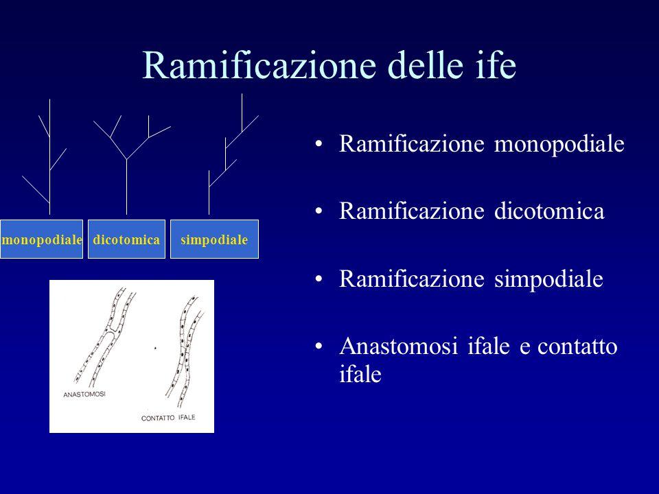 Ramificazione delle ife Ramificazione monopodiale Ramificazione dicotomica Ramificazione simpodiale Anastomosi ifale e contatto ifale monopodialedicot