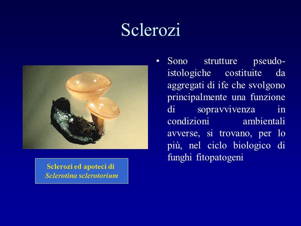 Sclerozi Sono strutture pseudo- istologiche costituite da aggregati di ife che svolgono principalmente una funzione di sopravvivenza in condizioni amb