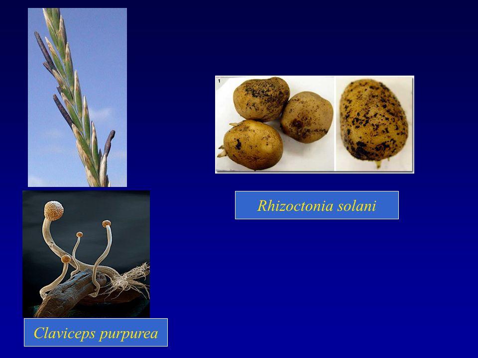Claviceps purpurea Rhizoctonia solani