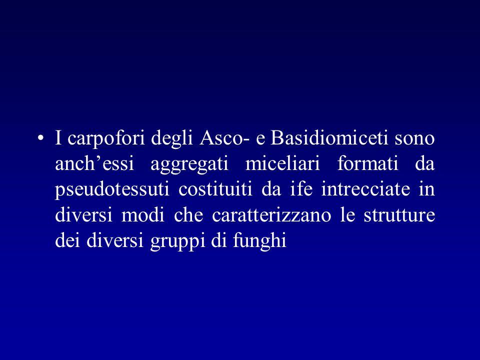 I carpofori degli Asco- e Basidiomiceti sono anch'essi aggregati miceliari formati da pseudotessuti costituiti da ife intrecciate in diversi modi che