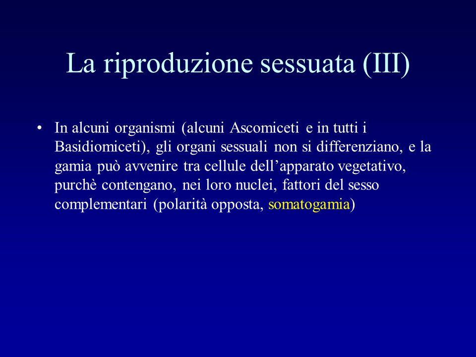 La riproduzione sessuata (III) In alcuni organismi (alcuni Ascomiceti e in tutti i Basidiomiceti), gli organi sessuali non si differenziano, e la gami
