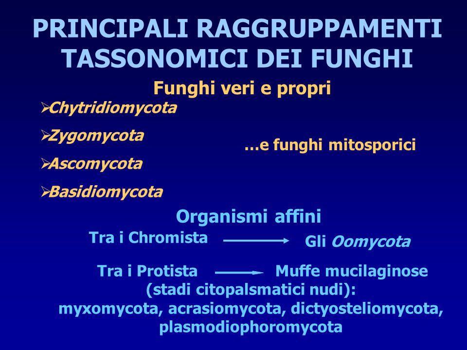 PRINCIPALI RAGGRUPPAMENTI TASSONOMICI DEI FUNGHI  Chytridiomycota  Zygomycota  Ascomycota  Basidiomycota …e funghi mitosporici Organismi affini Fu