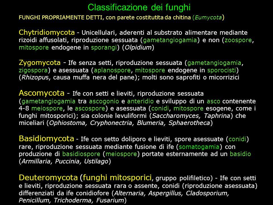 Classificazione dei funghi FUNGHI PROPRIAMENTE DETTI, con parete costitutita da chitina (Eumycota ) Chytridiomycota - Unicellulari, aderenti al substr