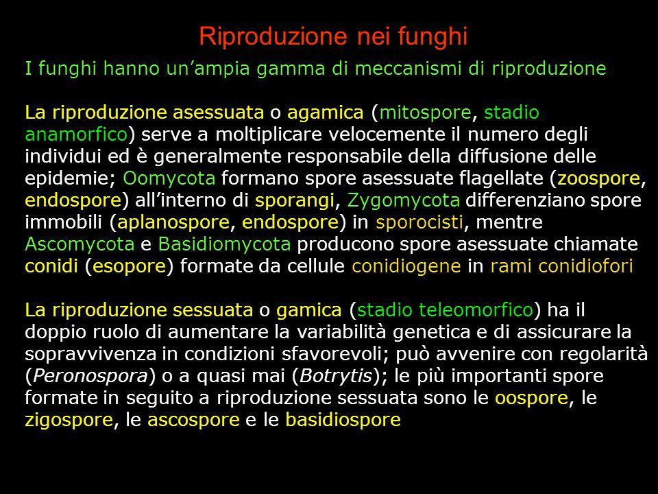 Riproduzione nei funghi I funghi hanno un'ampia gamma di meccanismi di riproduzione La riproduzione asessuata o agamica (mitospore, stadio anamorfico)