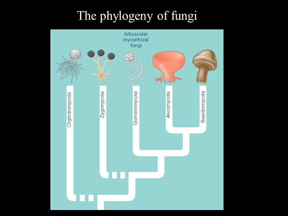 The phylogeny of fungi Arbuscular mycorrhizal fungi Chytridiomycota Zygomycota Glomeromycota Ascomycota Basidiomycota