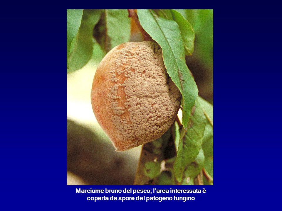 Marciume bruno del pesco; l'area interessata è coperta da spore del patogeno fungino