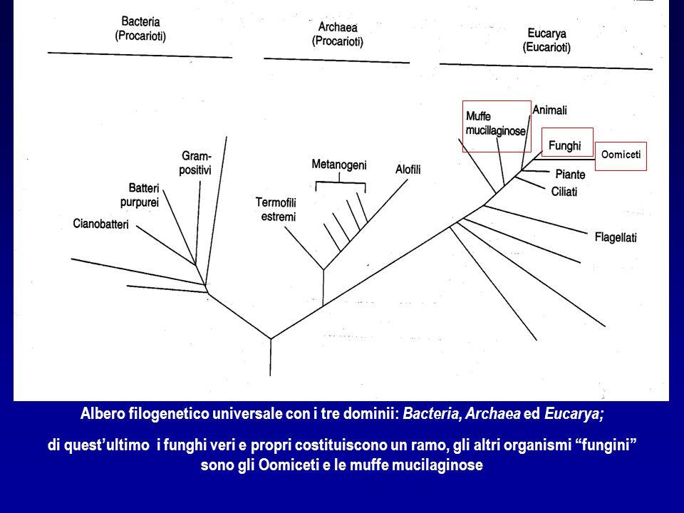 Albero filogenetico universale con i tre dominii: Bacteria, Archaea ed Eucarya; di quest'ultimo i funghi veri e propri costituiscono un ramo, gli altr