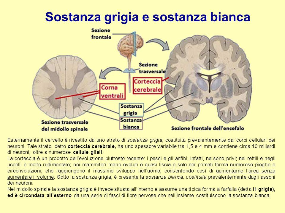 Sostanza grigia e sostanza bianca Esternamente il cervello è rivestito da uno strato di sostanza grigia, costituita prevalentemente dai corpi cellular