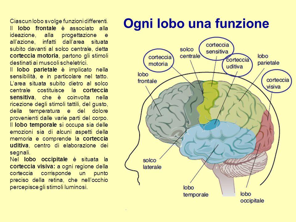 Ogni lobo una funzione Ciascun lobo svolge funzioni differenti. Il lobo frontale è associato alla ideazione, alla progettazione e all'azione, infatti