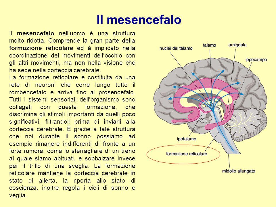 Il mesencefalo Il mesencefalo nell'uomo è una struttura molto ridotta. Comprende la gran parte della formazione reticolare ed è implicato nella coordi