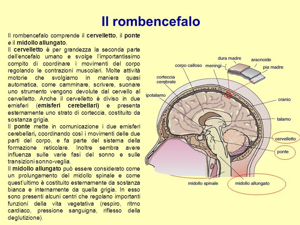 Il rombencefalo Il rombencefalo comprende il cervelletto, il ponte e il midollo allungato. Il cervelletto è per grandezza la seconda parte dell'encefa