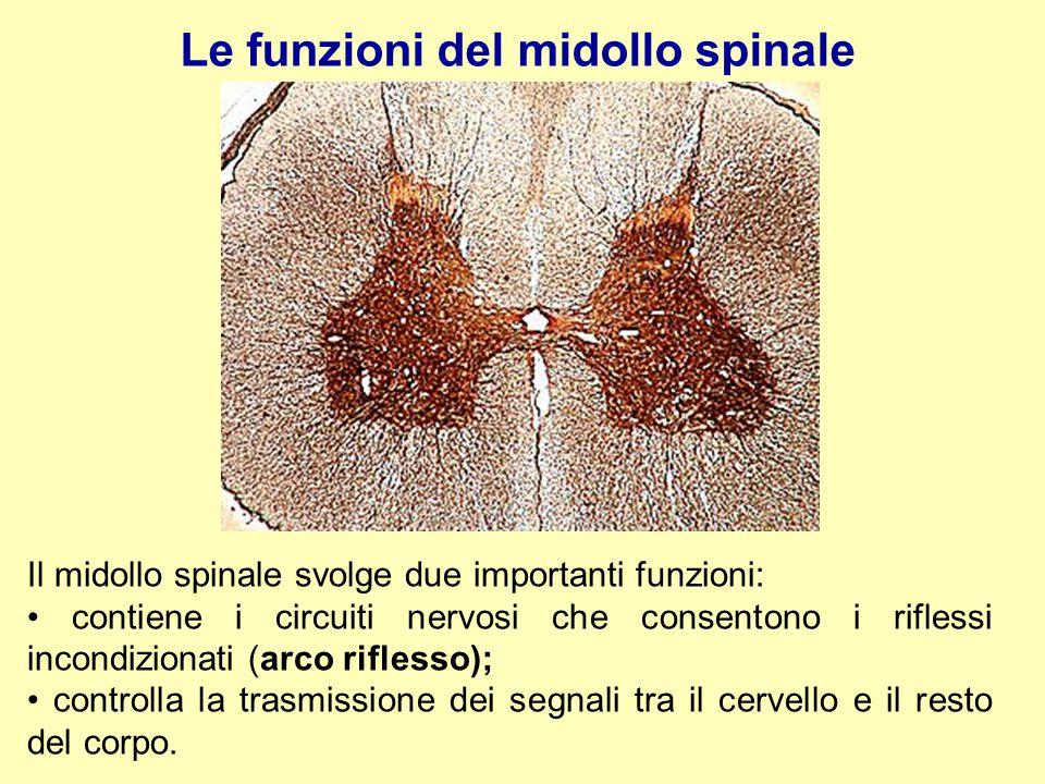 Il midollo spinale svolge due importanti funzioni: contiene i circuiti nervosi che consentono i riflessi incondizionati (arco riflesso); controlla la