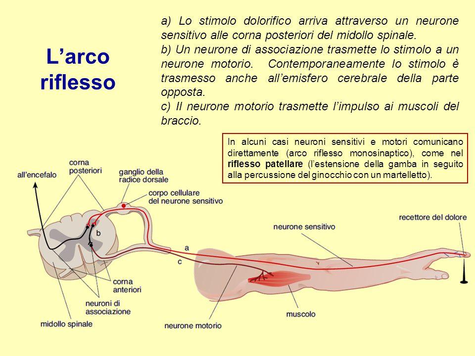 a) Lo stimolo dolorifico arriva attraverso un neurone sensitivo alle corna posteriori del midollo spinale. b) Un neurone di associazione trasmette lo