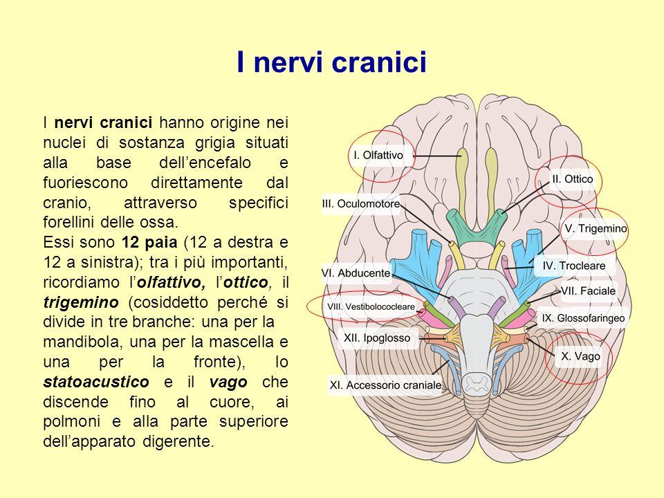 I nervi cranici I nervi cranici hanno origine nei nuclei di sostanza grigia situati alla base dell'encefalo e fuoriescono direttamente dal cranio, att