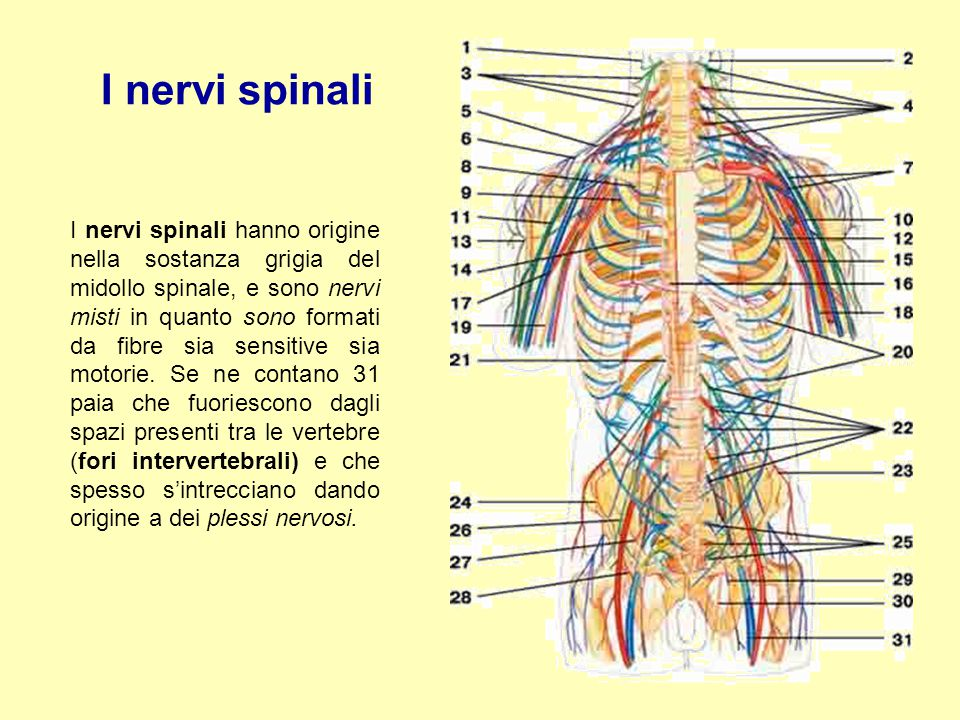 I nervi spinali I nervi spinali hanno origine nella sostanza grigia del midollo spinale, e sono nervi misti in quanto sono formati da fibre sia sensit