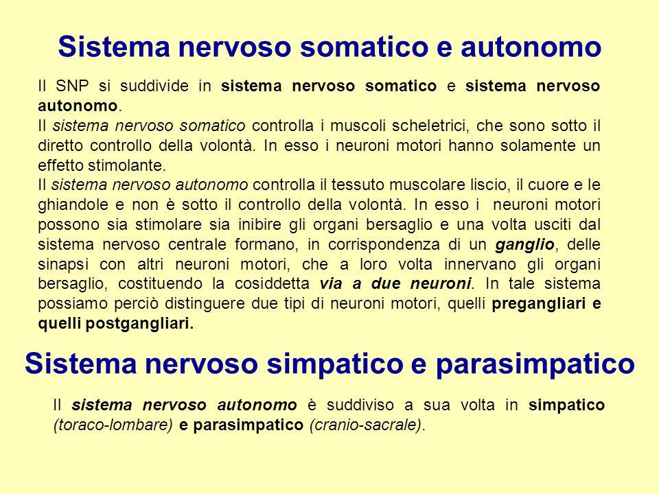 Sistema nervoso somatico e autonomo Il SNP si suddivide in sistema nervoso somatico e sistema nervoso autonomo. Il sistema nervoso somatico controlla