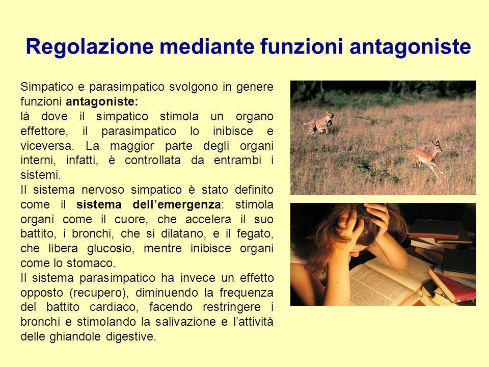 Simpatico e parasimpatico svolgono in genere funzioni antagoniste: là dove il simpatico stimola un organo effettore, il parasimpatico lo inibisce e vi