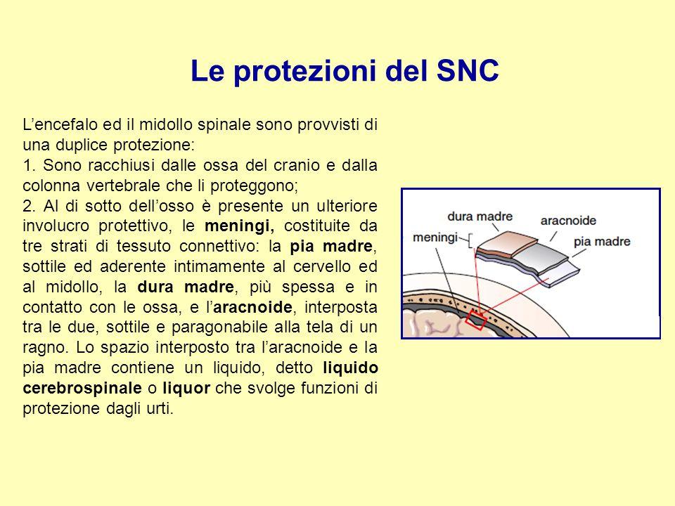 Le protezioni del SNC L'encefalo ed il midollo spinale sono provvisti di una duplice protezione: 1. Sono racchiusi dalle ossa del cranio e dalla colon