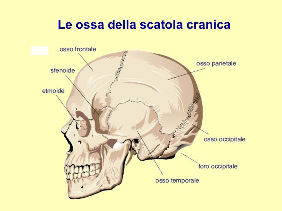Le ossa della scatola cranica