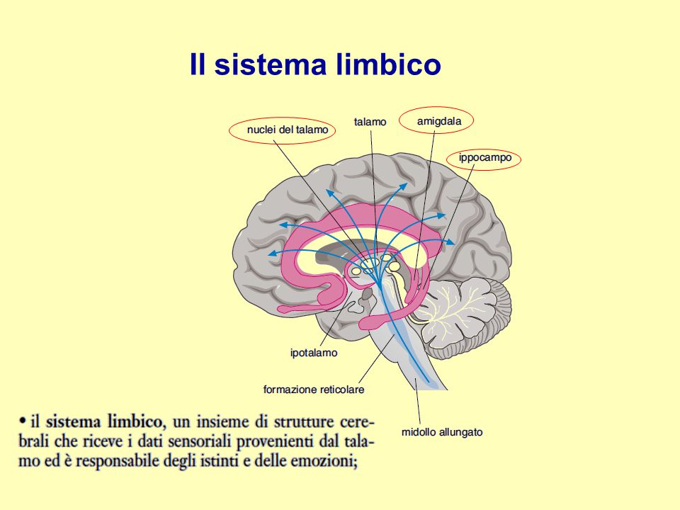 Il cervello: 2 solchi e 4 lobi Il cervello occupa l'80% del volume dell'encefalo umano.
