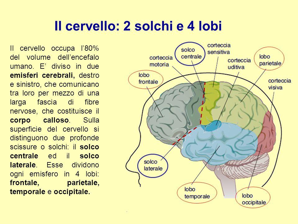 Il cervello: 2 solchi e 4 lobi Il cervello occupa l'80% del volume dell'encefalo umano. E' diviso in due emisferi cerebrali, destro e sinistro, che co