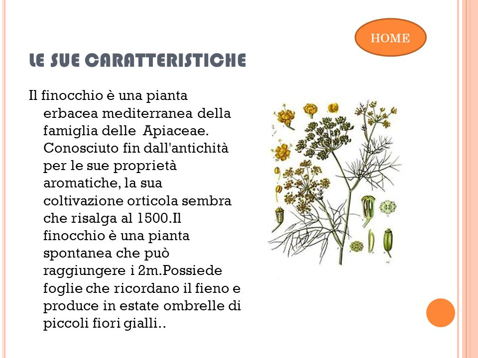 LE SUE CARATTERISTICHE Il finocchio è una pianta erbacea mediterranea della famiglia delle Apiaceae.