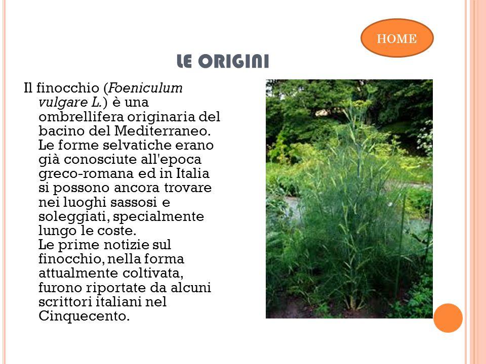 LE ORIGINI Il finocchio (Foeniculum vulgare L.) è una ombrellifera originaria del bacino del Mediterraneo.
